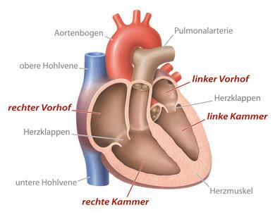 aufgeschnittenes Herz mit Herzklappen und Beschriftung